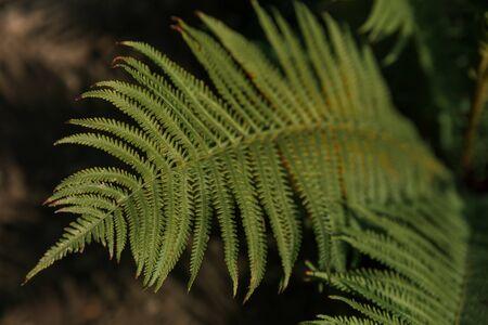 Green fern leaf in nature. Rainforest. Close up