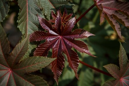 Ricinus communis in the garden behind the house. Gardening and flower care Stockfoto