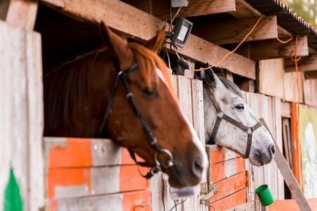 White and brown horse in a pen in the stable on a farm. Raising cattle on a ranch, pasture. Concept of agriculture, farming and animal husbandry