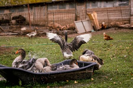 Gray goose swimming in the water in a pen in the stable on a farm. Raising cattle on a ranch, pasture. Concept of agriculture, farming and animal husbandry