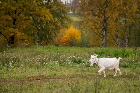 White goat in a meadow on a farm. Raising cattle on a ranch, pasture. Concept of agriculture, farming and animal husbandry
