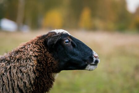 Sheep white with a black head close up in a pen in the stable on a farm. Raising cattle on a ranch, pasture. Concept of agriculture, farming and animal husbandry