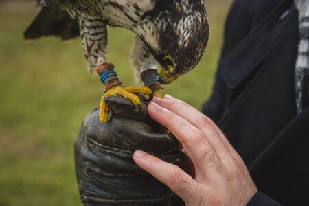 The concept of falconry. A man of European appearance with a beard and long hair, with a leather glove and a beautiful Falcon on his hand close up. On the background of a field, landscape