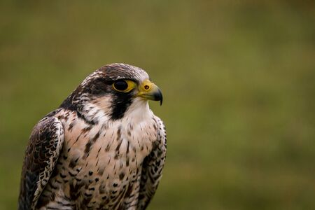 The concept of falconry. Beautiful Falcon on a perch. On the background of a field, landscape