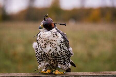 The concept of falconry. Head cap, hood. Beautiful Falcon on a perch. On the background of a field, landscape Imagens