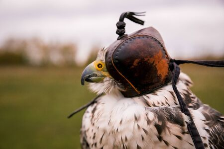 The concept of falconry. Head cap, hood. Beautiful Falcon on a perch. Close up. On the background of a field, landscape