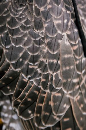 The concept of falconry. Plumage, feathers close-up beautiful hawk on a perch. On the background of a field, landscape