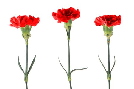 Red carnations with green stem and leaves isolated on a white background. Flowers are used as a symbol of love, a home, a talisman that protects you from evil forces and troubles