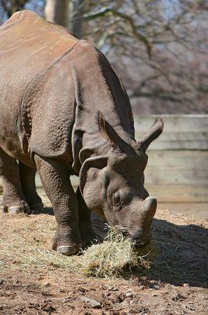 confined: rhinoceros eating hay in the zoo