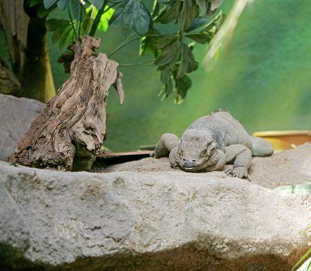 large grey iguana sitting on the rocks photo