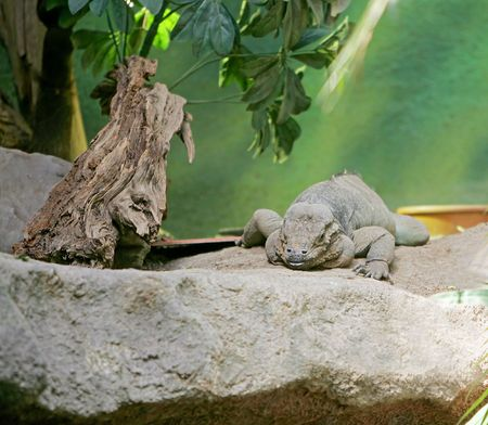 large grey iguana sitting on the rocks photo