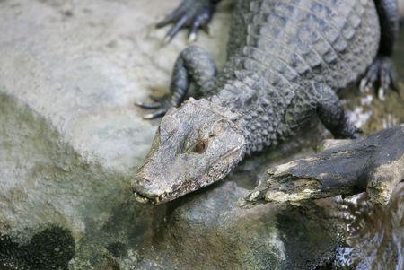 caiman alligator or croc like animal laying on the rocks Stock Photo - 2828810