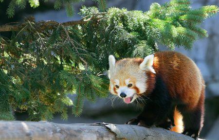 small red panda climbing on a tree branch photo