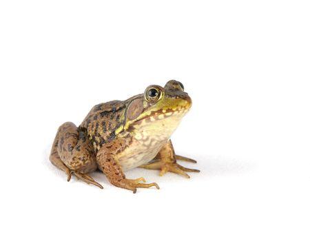 toward: small green frog over a white background facing toward