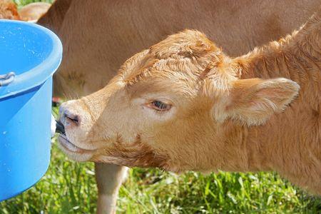 holstein cow drinking milk from a bucket Stock Photo - 3139423