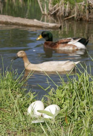 a duck couple swims and watches over their eggs