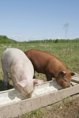 a couple of pigs eating in a trough together
