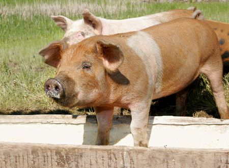 sty: a couple of pigs eating in a trough together