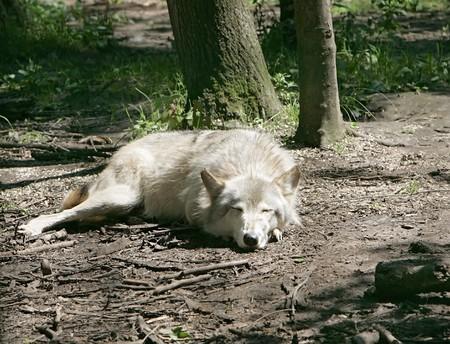 1 つの明るい色の美しい影光の木の下で眠っているオオカミ