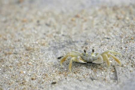 a young light colored crab blending into the beach photo