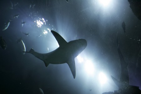 one large grey shark underwater seen from below silhouetted against bright lights photo