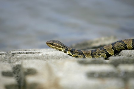 slithering: one water moccasin slithering on the rocks