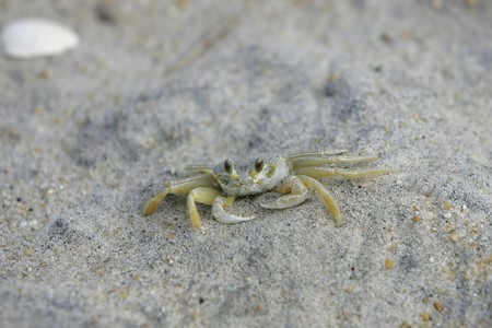 a young light green colored crab blending into the beach photo