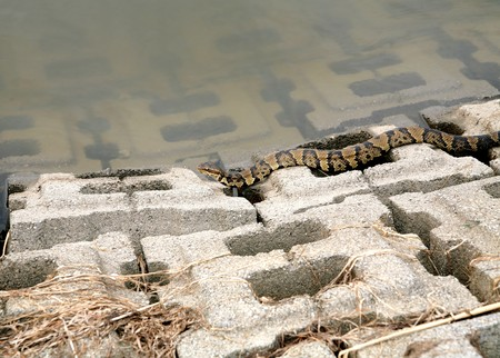 moccasin: one water moccasin slithering on the walks near water