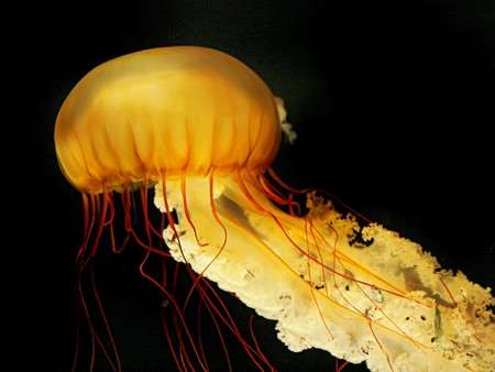 one giant orange and yellow jellyfish swimming with tentacles following underwater photo