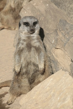 one small brown meerkat standing against a rock