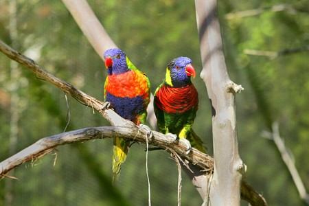 two small colorful lorikeet birds sitting on a branch photo