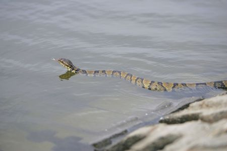 slithering: one water moccasin slithering on the walks near water