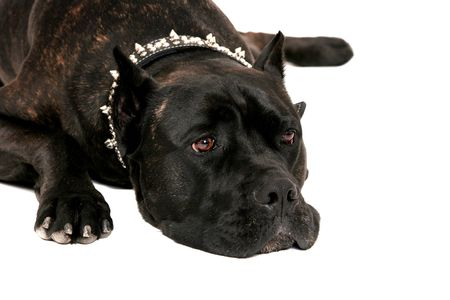 one sad looking very large black mastiff laying down headshot over white photo
