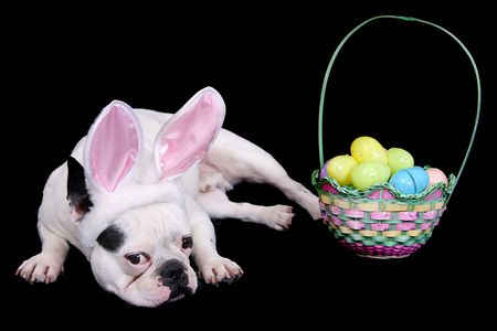 funny looking easter bulldog with rabbit ears costume and egg basket over black Stock Photo - 4908894