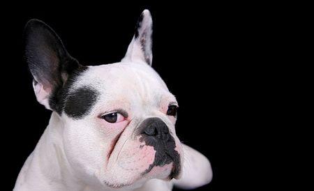 Closeup Portrait von einem weißen Bulldog über schwarz  Lizenzfreie Bilder - 4934010