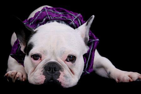 ein weiß Bulldog Closeup Portrait über schwarz  Lizenzfreie Bilder - 4986830