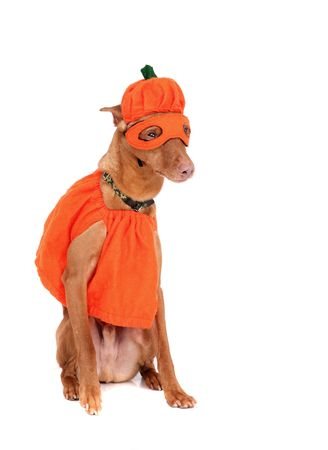 one reddish miniature doberman dressed in a pumpkin costume over white photo