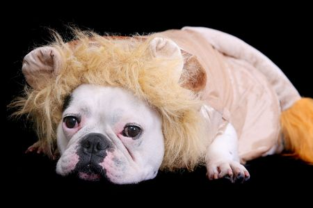 one sad looking white bulldog dressed as a lion over black photo