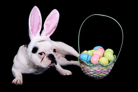 funny looking easter bulldog with rabbit ears costume and egg basket over black Stock Photo - 4986843