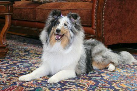 one pretty Sheltie dog headshot portrait in a livingroom natural setting photo