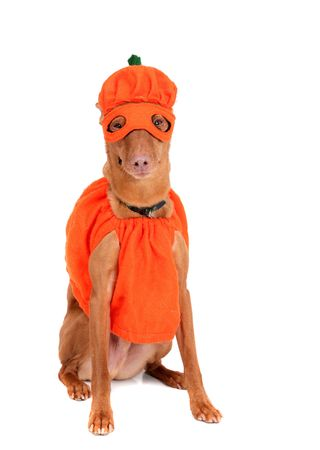 one reddish miniature doberman dressed in a pumpkin costume over white