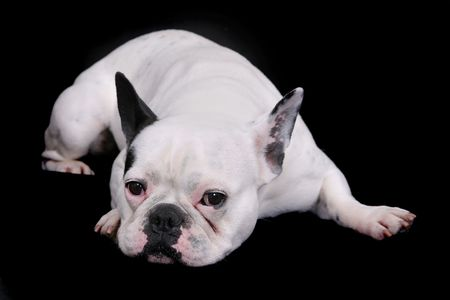 wrinkely: Sad looking white bulldog laying down portrait over black