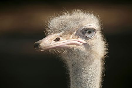 sidelight: closeup portrait of an ostrich face staring at the camera with strong sidelight