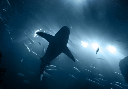 one large grey shark underwater seen from below silhouetted against bright lights Foto de archivo