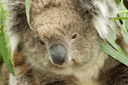 closeup of a wild koala in Australia