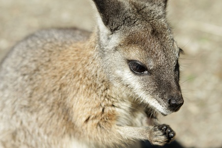 close up photo of a wallaby face and paws