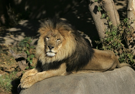 adult lion lying quietly on rocks outdoors under trees