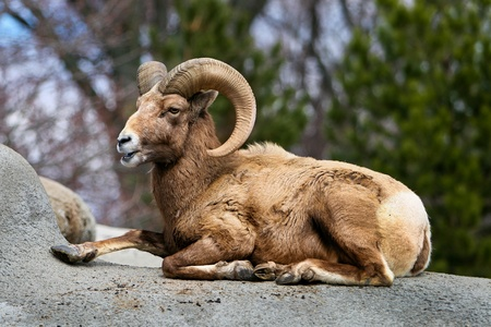 one wild male bighorn sheep lying on a rock outdoors in summer