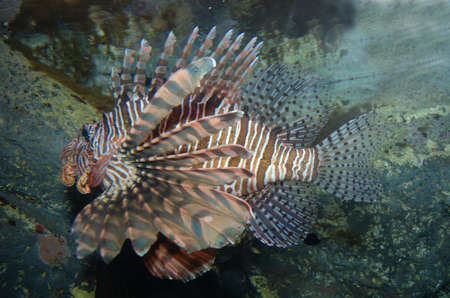 Poisonuos LionFish photo