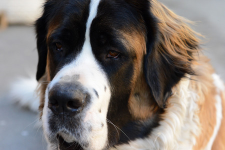 watchdog: The dog looks. Breed Moscow Watchdog